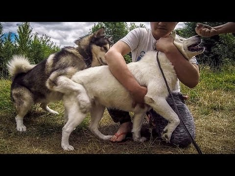 Вязка собак чуть не превратилась в изнасилование!