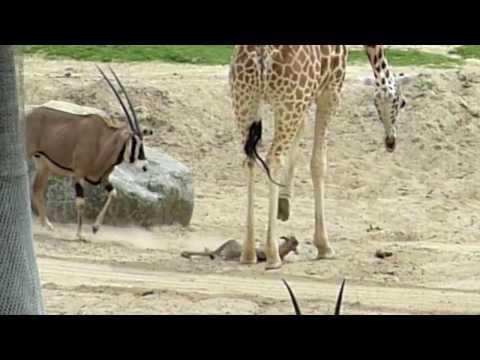 Giraffe vs Baby Gazelle - Wild Animal Park - San Diego