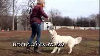 Собака не выполняет команды, когда её что-то заинтересовало..Как решить?