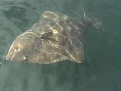 Halibut and salmon fishing vancouver island youtube for Fishing vancouver island