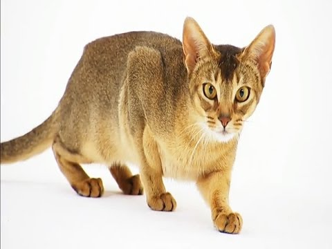 Abyssinian Cat Breed | Adoptable Abyssinian Cat Characters