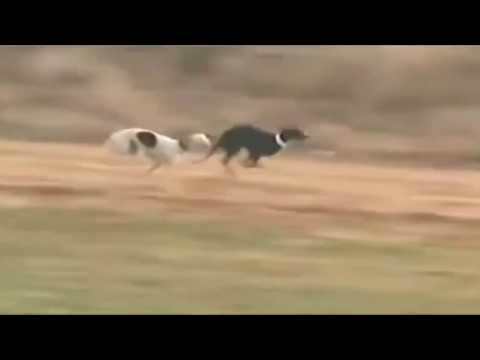 Rabbit Outruns Hunting dogs with speed & skill