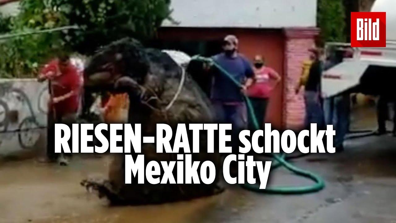 """Gigantische """"Monster-Ratte"""" aus Kanalisation geborgen - YouTube"""