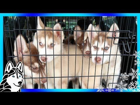SIBERIAN HUSKY PUPPIES | So many Puppies | HELP US HELP HUSKIES