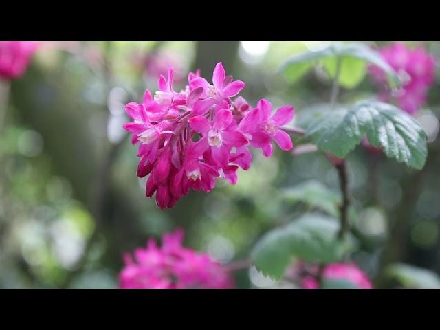 1 minuut natuur: rode ribes - flowering currant - cassis-fleurs - Blut-Johannisbeere