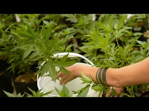 He's a cannabis consultant; He invests in the industry   The Cannabist Show