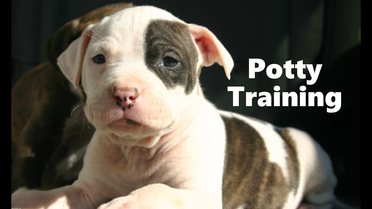 How To - Potty Training Puppies - YouTube