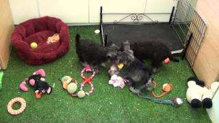 Little Rascals Uk Breeders New Litter Of Pedigree Miniature Schnauzer Puppies