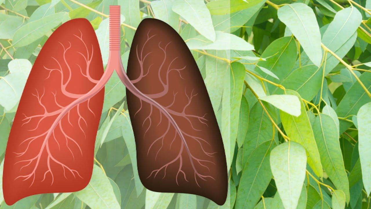 plante medicinale pentru plamani