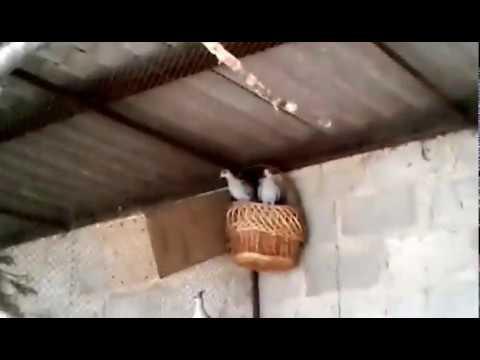 Гвинейские голуби с птенцами. Весна 2018 года.  Сенегальские горлицы, австралийские хохлатые.