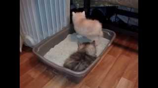 Настасья, Наум и Норман Боб и К°, возраст котят - 1 месяц