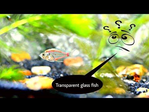 Transparent Glass Fish - Behind Shocking Cruel Truth 》 Must Watch