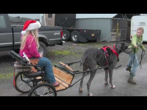Great Dane - Dog carting at the Speed of dog :: http://www.bajodog.com