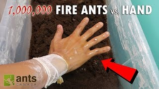fire ants vs my hand