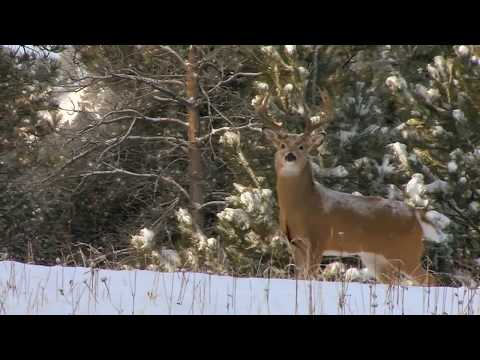 The Zone S2:E11  Western Whitetails.  Rattling whitetails post rut.