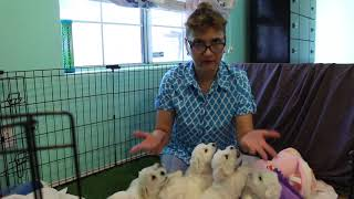 Coton Puppies For Sale - Mika 8/3/21