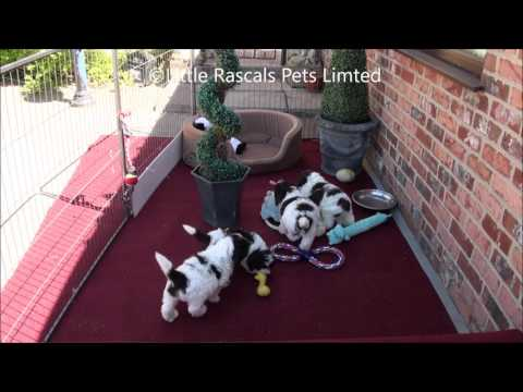 Little Rascals Uk breeders New litter of Chocolate and White Cockapoo Puppies