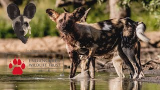 Fund Raiser | Endangered Wildlife Trust & Lapalala Wilderness Painted Dogs