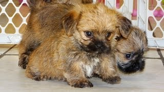 Yorkie Tzu, Puppies, For, Sale, In, Jackson, Mississippi, Ms, Clinton, Pearl, Horn Lake