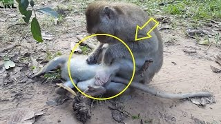 monkey find lice, monkey finding lice, monkey grooming each other, monkey eating lice
