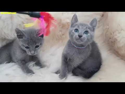 Russian Blue Cat Animals Onlinetheplanet Compilation Video 2019