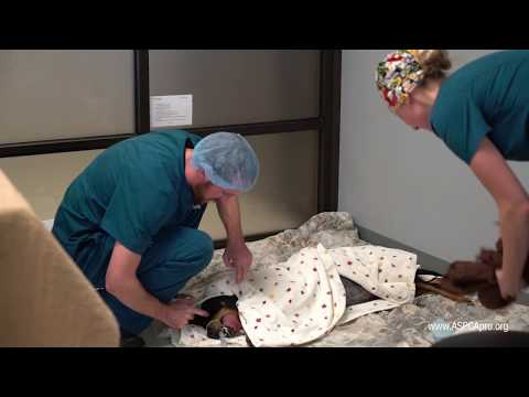 Spay/Neuter Patient Care: Patient Recovery