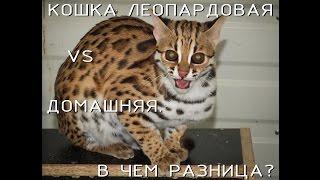 Леопардовая кошка: реально ли ее приручить?