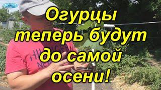 Огурцы в открытом грунте -легко и много!!!