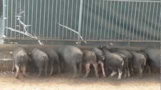 """PHILIPPINE NATIVE PIG RAISING"" - CONTRACT GROWING PROGRAM BY ECOPIG DC"