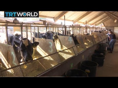 Changing cow feed could cut methane emissions | Money Talks