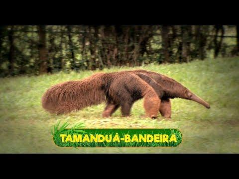 DE LINGUA BAIXAR TAMANDUA MUSICA