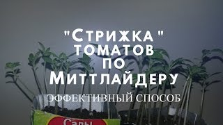Этап  3. Стрижка томатов по методу Миттлайдера!