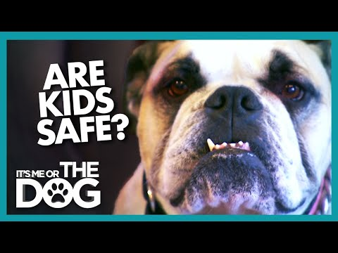 Can Aggressive Bulldog Be Trusted Around Children? |  It's Me or The Dog