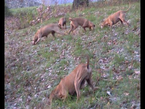 caccia alla lepre con il segugio