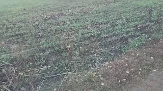 Что сеять после евролайтнингового подсолнечника ячмень или пшеницу?