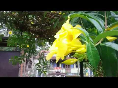 Lovely Golden Trumpet Vine Flowering Plant Allamanda Cathartica