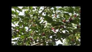 How To Grow a Mulberry Tree From a Cutting thumbnail