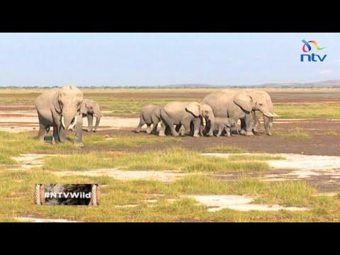 "NTV Wild talk S2 E11: ""Magical Amboseli Elephants"""