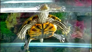 How To Get Your Turtle To Start Eating Vegetables.