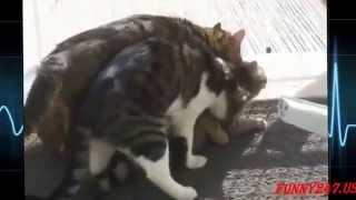 Ridiculous cats mating Pąrt II loud The best cats mating!