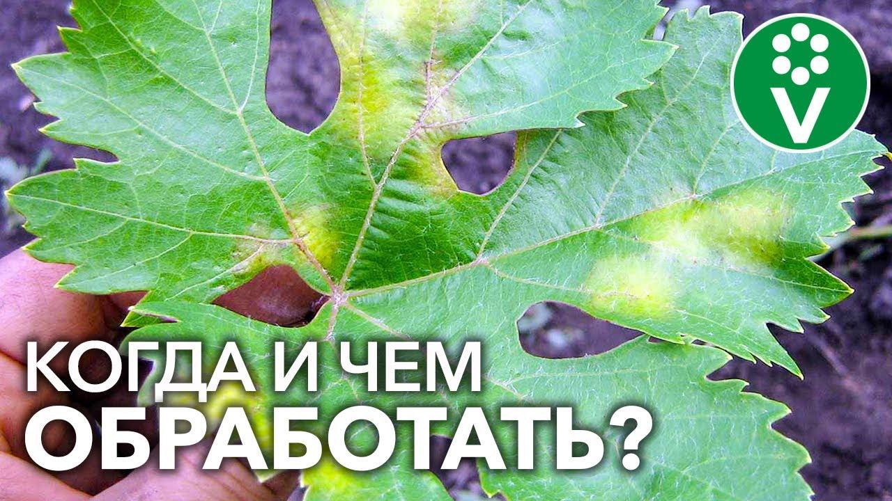 ВСЕ ОБРАБОТКИ ВИНОГРАДА С ВЕСНЫ ДО ОСЕНИ. Боремся с опасной болезнью винограда МИЛДЬЮ