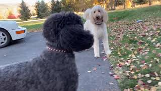The standard poodles meet up with her siblings