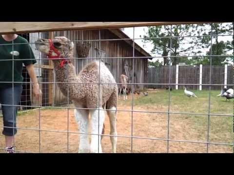 Panama City Beach ZooWorld - Baby Giraffe and Baby Dromedary