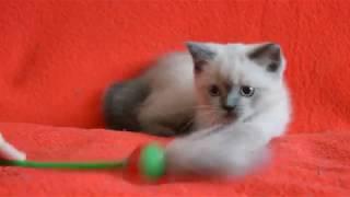 Купить шотландского котенка? Котята для Вас: Чистокровные шотландские котята блю-поинт окраса.