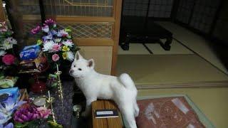 【秋田犬ゆうき】何をするにもどこに行くにも一緒だった仔犬の頃【akita dog puppy】