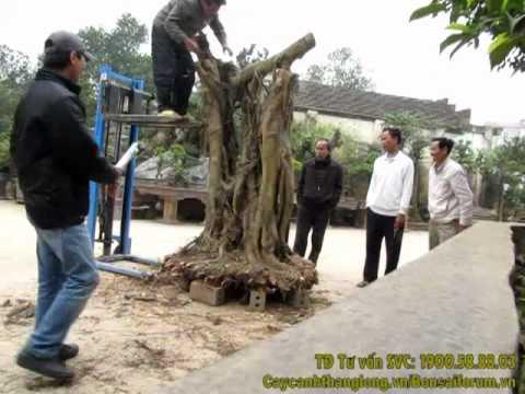 Nghệ nhân Hà Nội dựng Bonsai