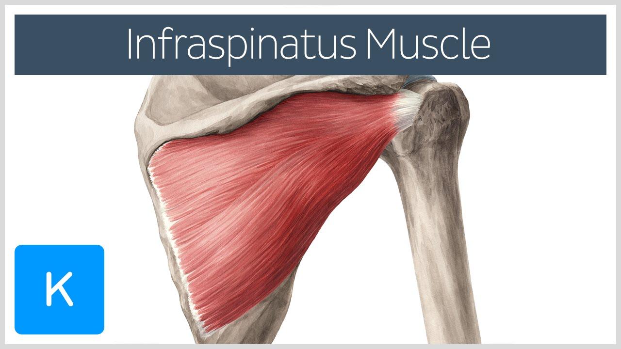 Infraspinatus Muscle Origin Insertion Function Human Anatomy