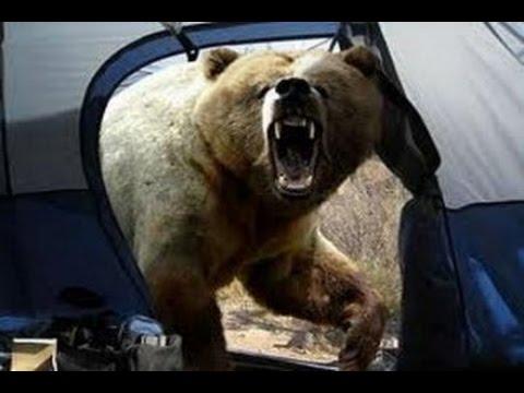 Как медведи нападают на людей видео