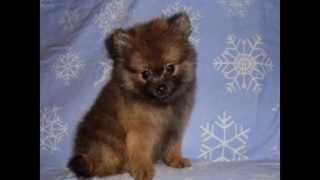 ***dog Training - How To Train Your Pomeranian Not To Pee & Poop In Your House