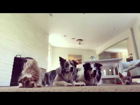 Teaching multiple dogs obedience - Dog Training
